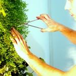 entretien mur végétal