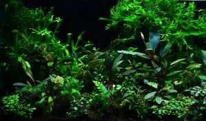 plante aquarium d'ombre